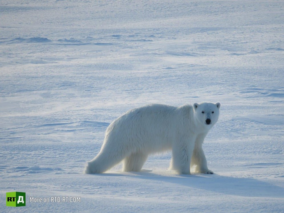 A polar bear 'visits' drifting ice station