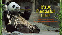Its A Pandaful Life How China is saving the giant panda from extinction.