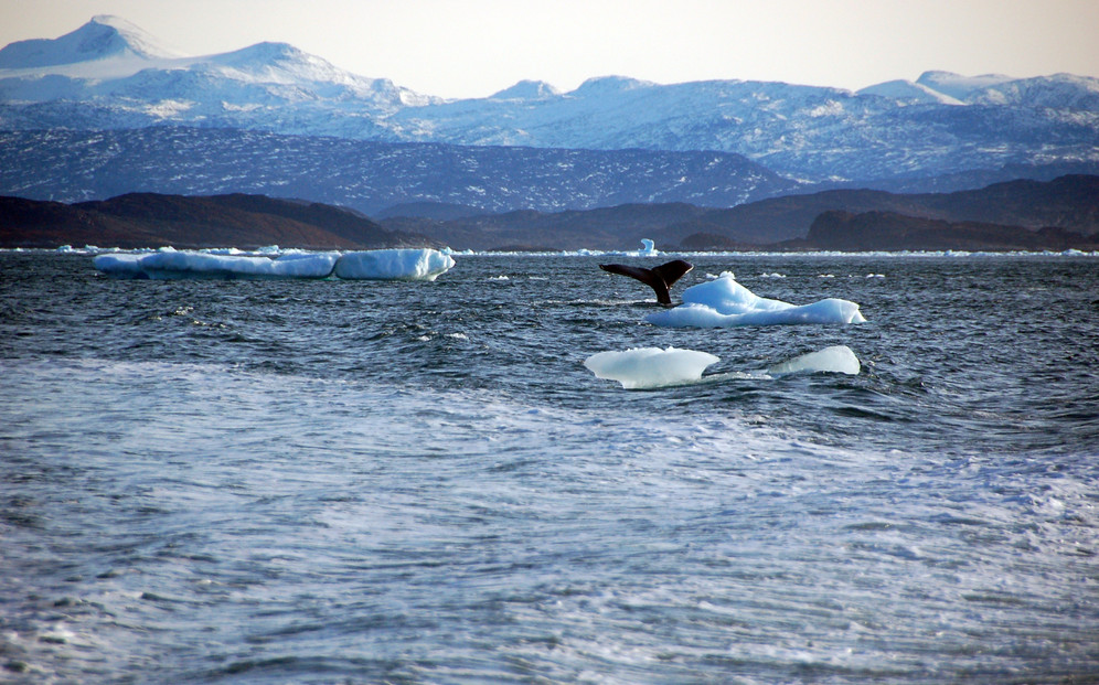A whale dives into the ocean off Nuuk, Greenland