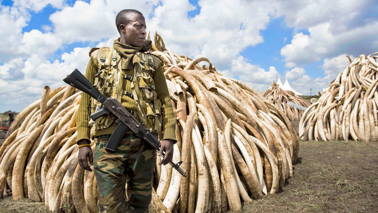 Ivory Elephant Slaughter Luxury Symbol And Illegal Trade