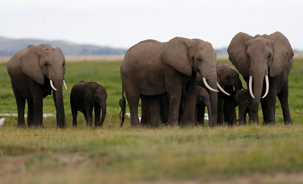 African elephants poached for ivory