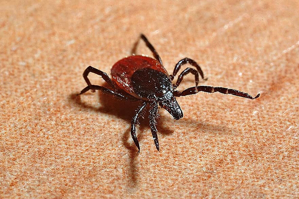 taiga ticks are disease carriers