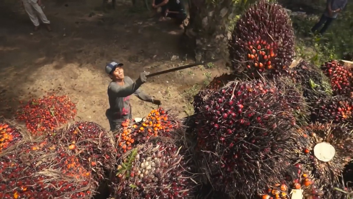 Official sources point to more than 5 million people working in oil palm plantations and another 15 million in related job /