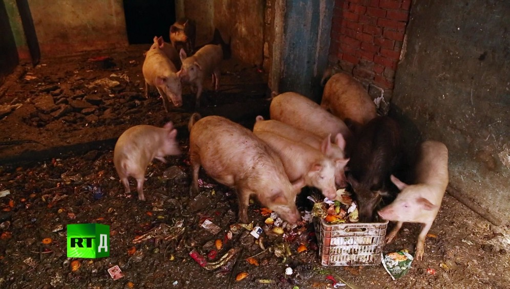 Zabbaleen pigs feeding on organic trash collected by Cairo's legendary rubbish collectors, in a house in Garbage City